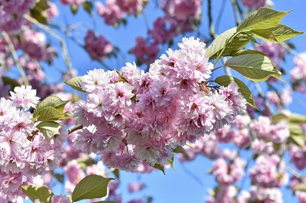 Er dit træ Thys flotteste? Så send os billeder og lidt info.Foto: Ole Iversen
