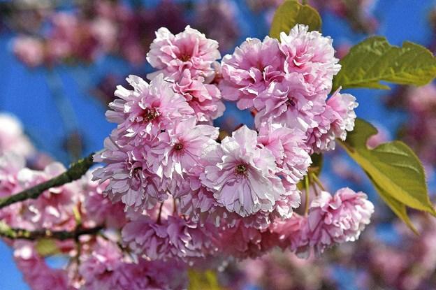 Så smukt er Japansk Kirsebær. Her fotograferet i Jernbanegade ved Bowlingcentret.Foto: Ole Iversen