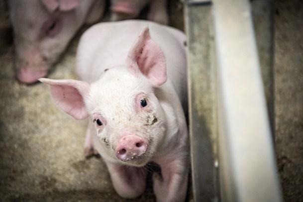Landmand ved Hobro aflivede grise ved at svinge dem ned i gulvet