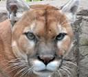 Puma dræbte cyklist: Slæbte ham ind i hule