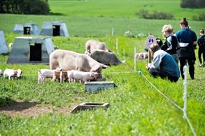 Et besøg hos de fritgående grise