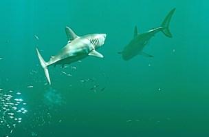 Svøm med en haj