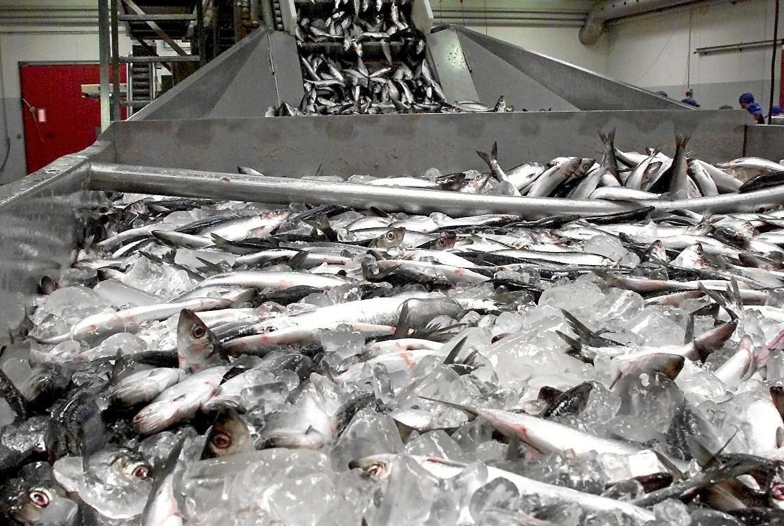 Fisker scorede kassen på populære sild