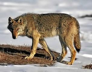 Er du bange for ulven? Disse syv sager fik jer til tasterne