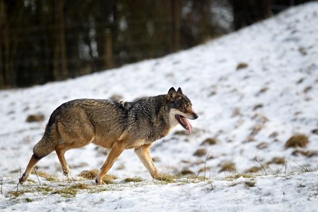 Forsker: Unge ulve kan strejfe rundt tæt på ejendomme