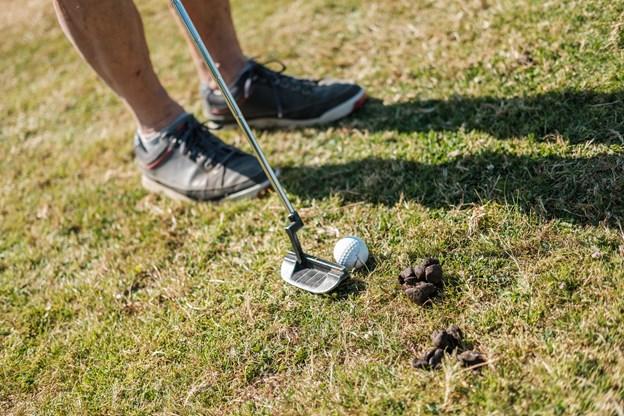 Golfspillerne skal have et godt boldøje for ikke at ramme én af de mange fårelorte. Foto: Lasse Sand