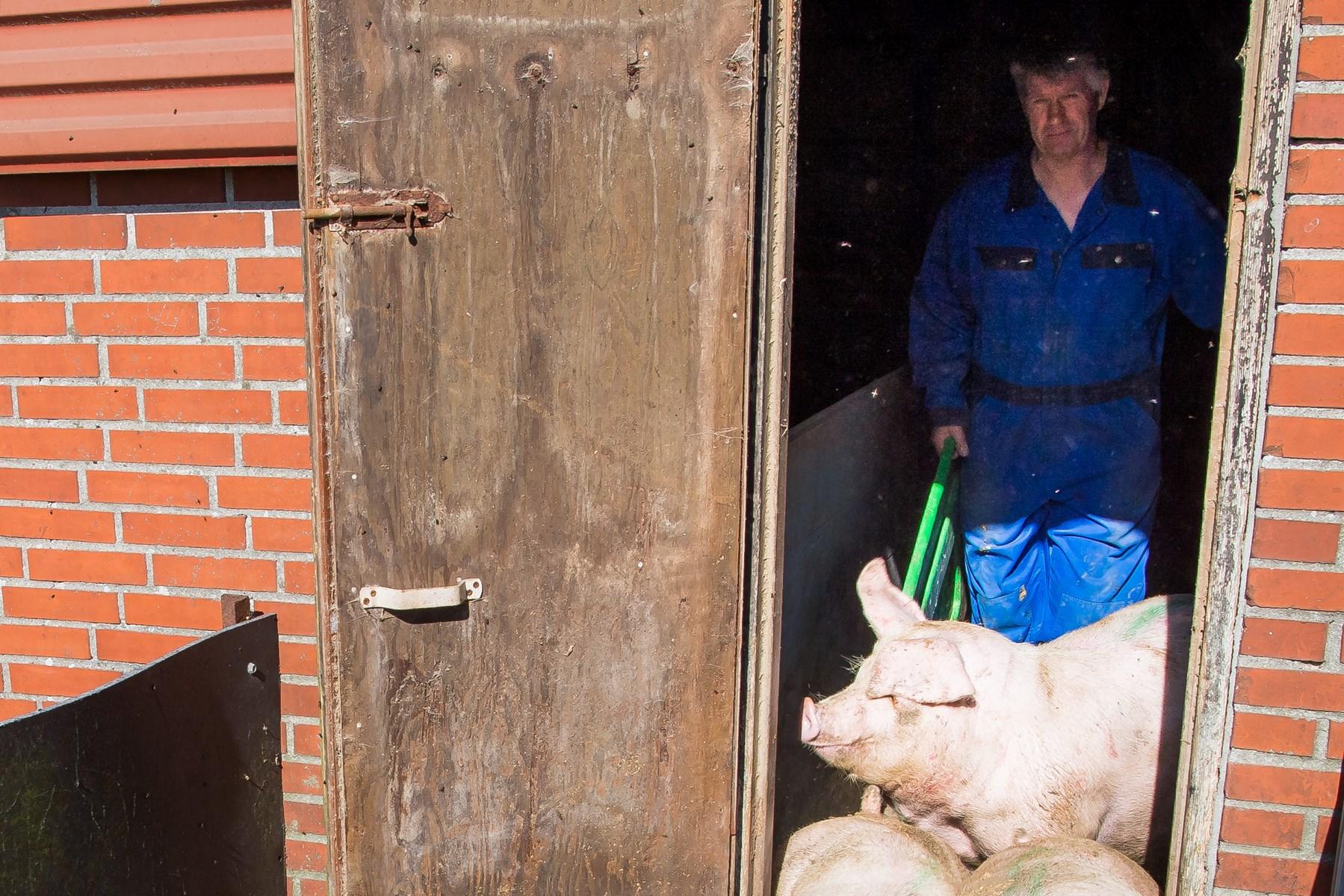 Svin: Når prisen går op, skåler de i Thy - lige nu er halsen knastør