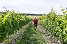 Dansk vinavl kan blive interessant for udenlandske investorer, hvis vejret i år gentager sig, siger forening.