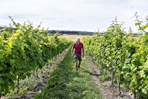 Vinavl slår alle rekorder i sommervarmen