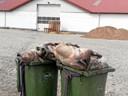 Noget værre svineri: Naboer klager over stanken fra døde grise
