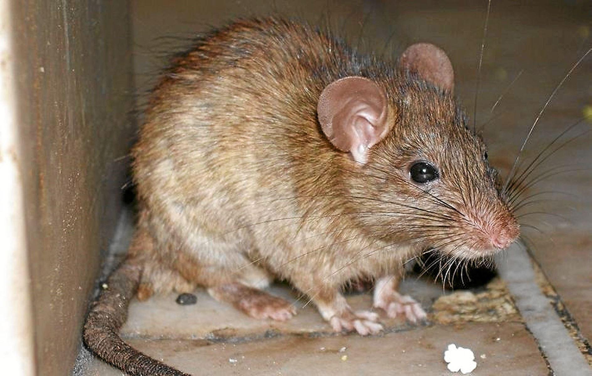 Kun en enkelt rotte holder lige nu havnebadet i Aalborg lukket, fortæller bademester