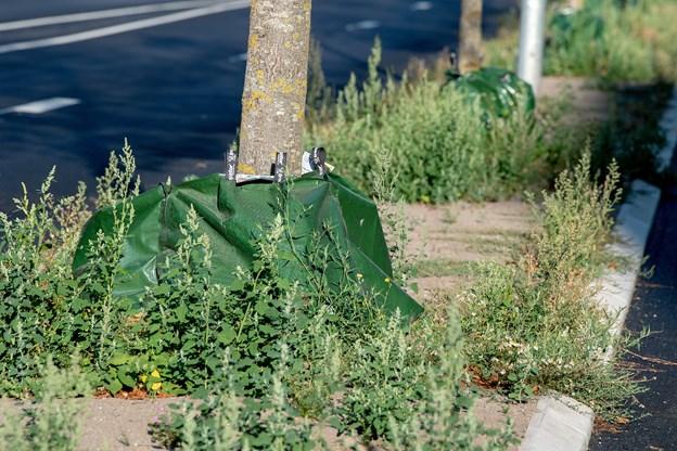 Nyplantede træer forsynes med en plast-sæk med små huller i bunden. Engang om ugen hældes 75 liter vand i sækkene. Vandet forsvinder gennem de små huller ned til træets rod. Foto: Henrik Bo
