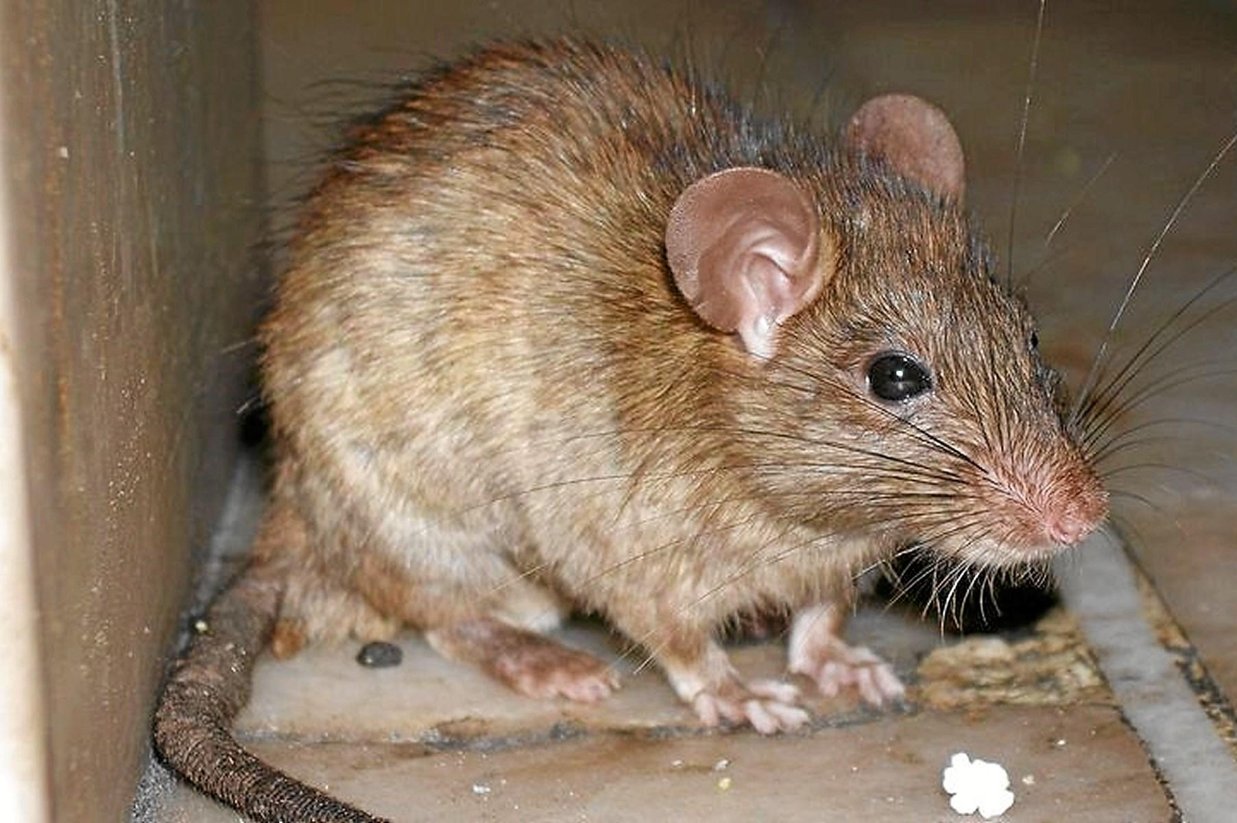 Nu også i Nibe: Rotter lukker havnebad