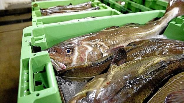 Du kan få fingre i friskfanget fisk, når Utzon Parken bliver omdannet til fisketorv for en dag.Foto: Aalborg Kommune