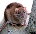 Rottejagt skærpes: De upopulære gnavere får ikke weekendfred