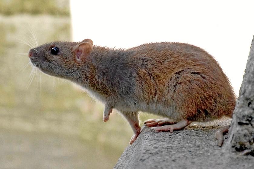 Det varme vejr får rotterne til at lede efter vand. Og det kan få dem til at søge mod boligen
