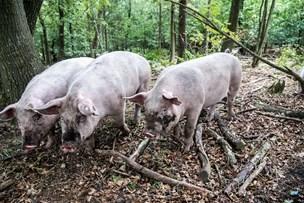 Heldige svin: Skovgrise øffer rundt på eventyr i skovbunden