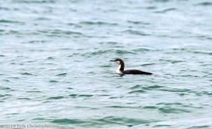 Sjælden fugl gæster dansk farvand