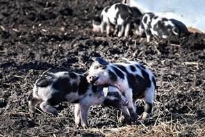 Kom tæt på glade grise