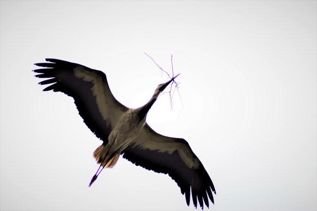 Varm sommer et eldorado for storkene