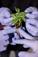 Makværk eller mirakel-middel - bekymrede læger vil vide mere om medicinsk cannabis
