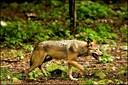 Gps-halsbånd kan kortlægge ulvens adfærd nær mennesker