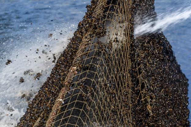 Alt godt fra Limfjorden har sat sig eftertrykkeligt fast i sikkerhedsnettet, og det er primært muslinger og muslingeyngel.