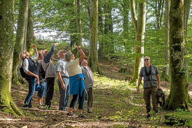 Træerne i skoven er gamle og meget høje med et rigt fugleliv, som nok er værd at spejde efter. Foto: Niels Helver