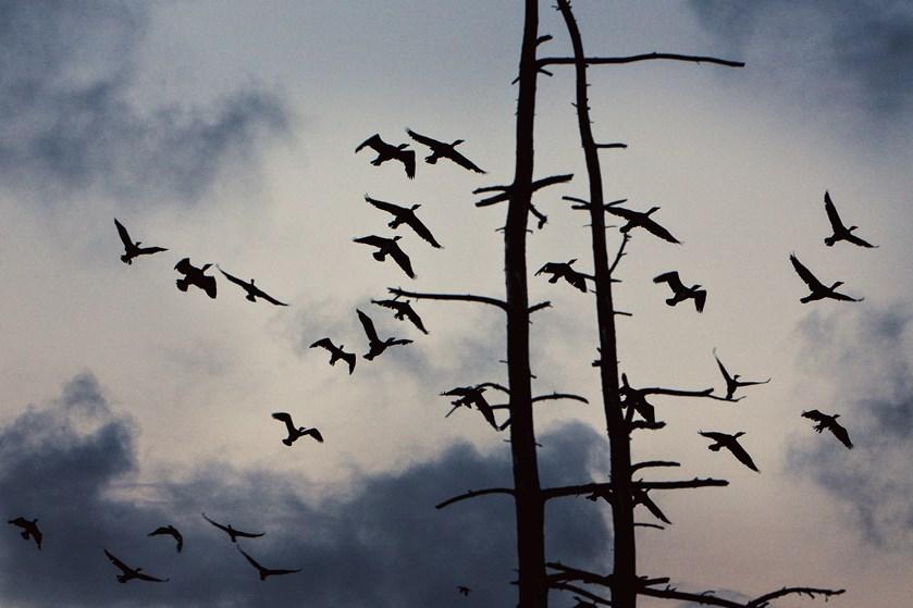 Skarvbestanden går tilbage i Danmark. Biolog mener, at det er på tide at skære ned i bekæmpelsen af skarven.