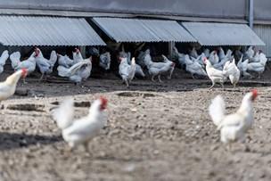 Ane og Jørgen får 45.000 æg om dagen: Her er der plads til at baske med vingerne