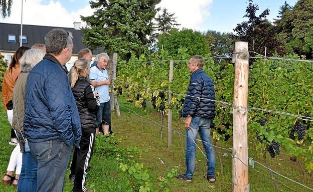 Mogens Damsgaard viser et hold rundt på vinmarkerne. Den rundtur blev ekstra attraktiv på grund af de særdeles flotte vindruer (se til højre i billedet). Foto: Ole Torp