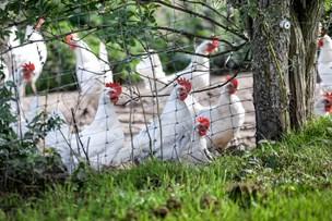 Buræg får et gok: Lider knusende nederlag til de økologiske