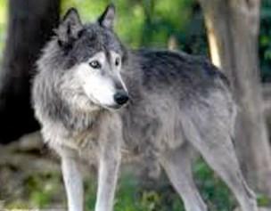 Mulig ulv på Mors var en hund