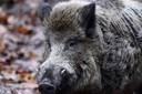 Naturvenner vil have EU til at bremse vildsvinehegn