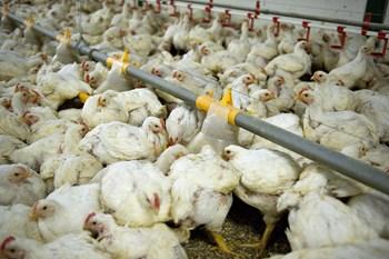 En måneds tid lever en slagtekylling. Det skader dyrevelfærden, mener Dyrenes Beskyttelse. Landbruget afviser.