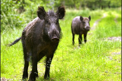 Landmænd frygter ragnarok, når svinepesten dukker op