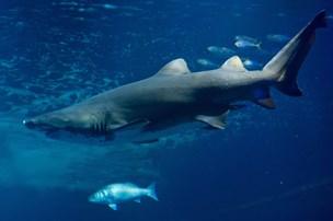 Store hajer dræbt efter angreb på pige og kvinde