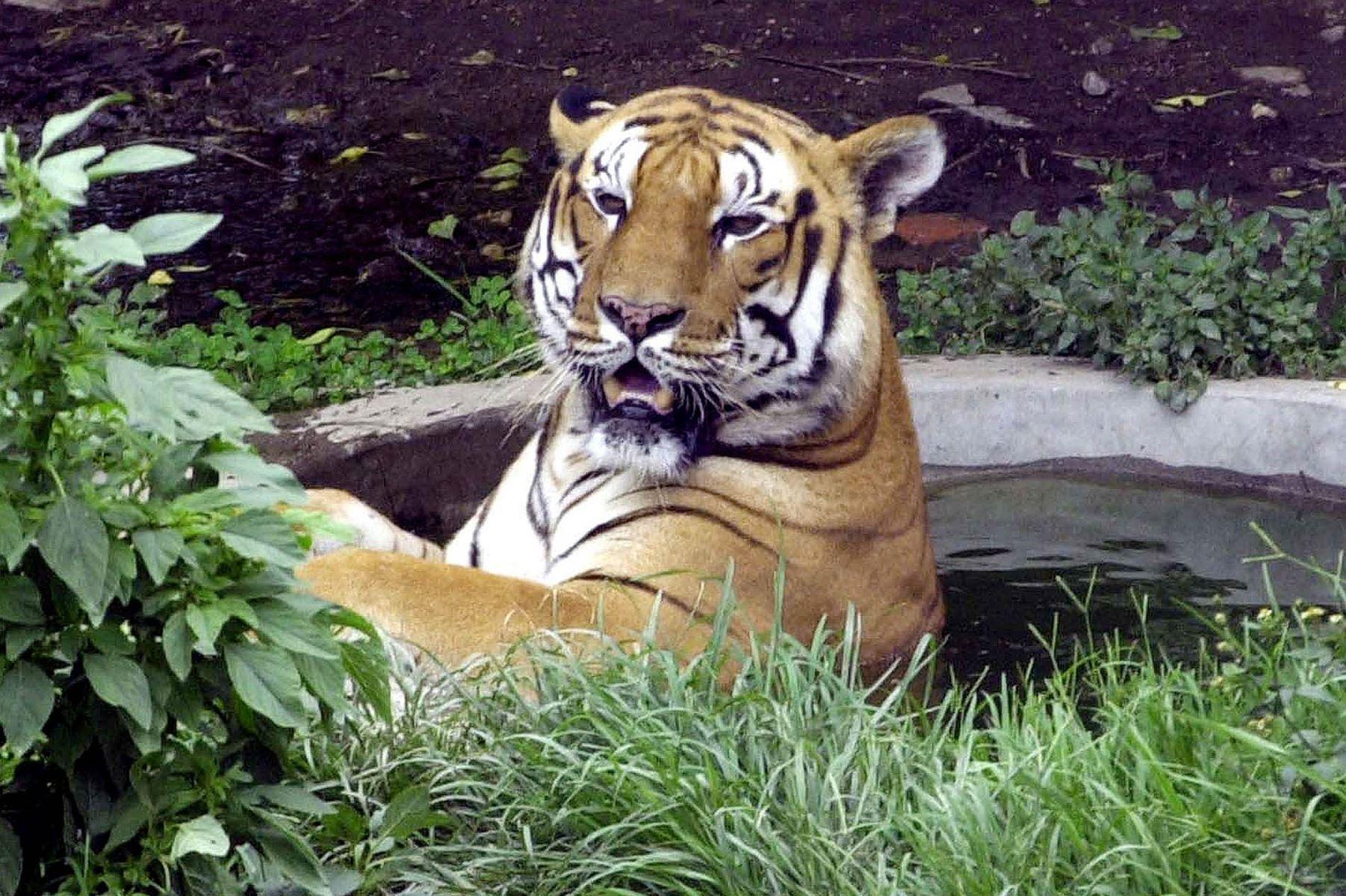 En ny optælling fra Verdensnaturfonden viser, at tigerbestanden i Nepal næsten er blevet fordoblet siden 2009.