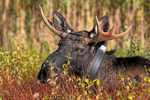 Hold øje og ører åbne – måske er du heldig at se en elg i mosen. Foto: Frans Ritter