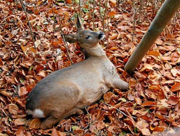 Højsæsonen for påkørte hjorte