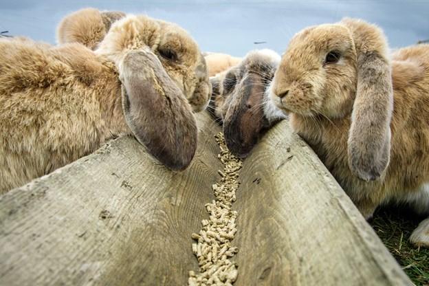 Anna og Jens Jørgen slagter 500 om året: Danskerne vil have kanin i gryden