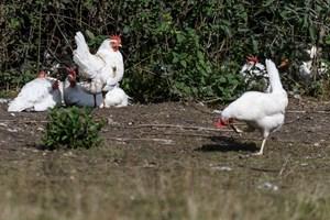 Fra mandag vil danske æg tydeligt adskille sig fra udenlandske æg med nyt våbenskjold på skallen