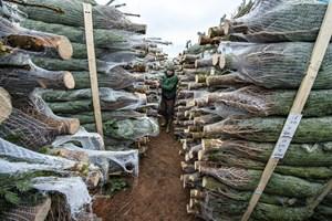 Masseproduktion af juletræer på udenlandske markeder presser de danske juletræsproducenter hårdt.