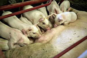 Forskere vil stoppe problemet med antibiotikaresistens i landbruget, som også er en trussel mod mennesker.