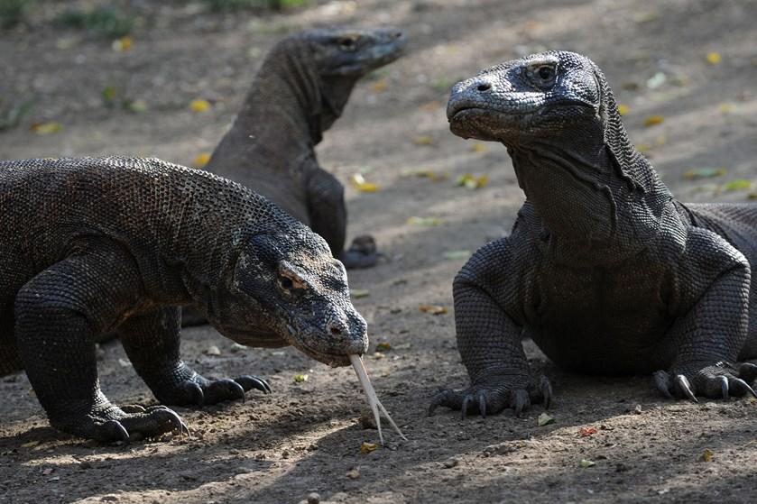 Ulovlig smugling af komodovaraner får myndighederne i Indonesien til at lukke en populær turistø i et år.