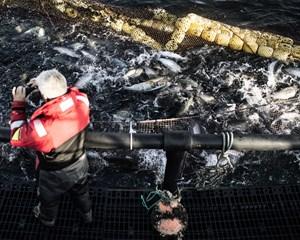 e425115a866 Efter hård kritik for miljøforurening og politianmeldelser skal dansk  havbrug nu gennem grundig kulegravning.