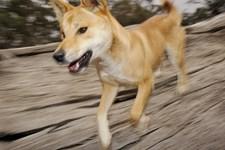 En campingferie udviklede sig dramatisk, da en dingo snuppede en 14 måneder gammel dreng på australsk ferieø.