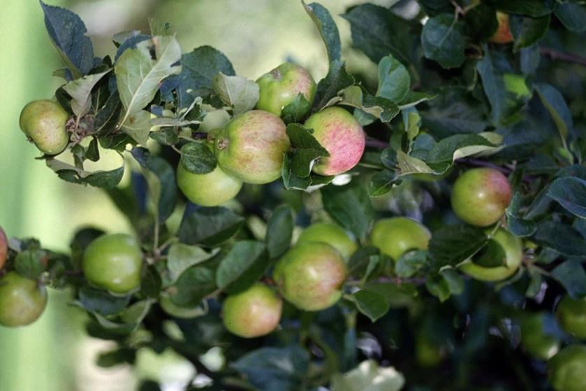 Den ene frostnat efter den anden i maj er gået hårdt ud over landets æble- og pæretræer.