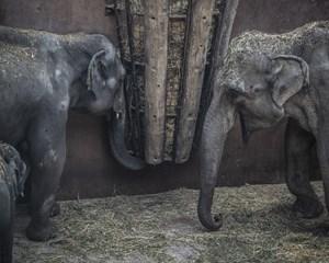 Elefantflokken i Københavns Zoo er blevet udvidet med tre tyske elefanter torsdag.