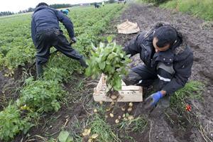 Asylansøger høster kartofler og radiser